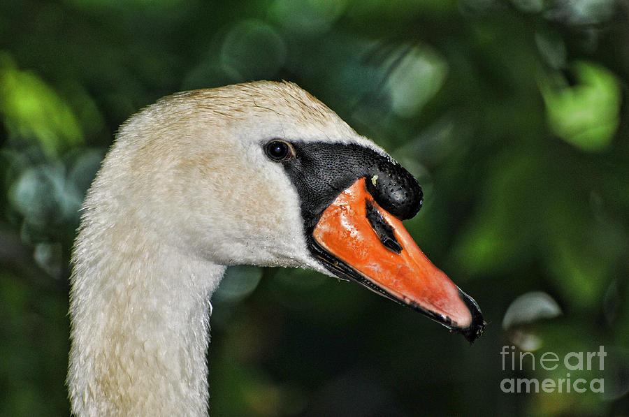 Paul Ward Photograph - Bird - Swan - Mute Swan Close Up by Paul Ward