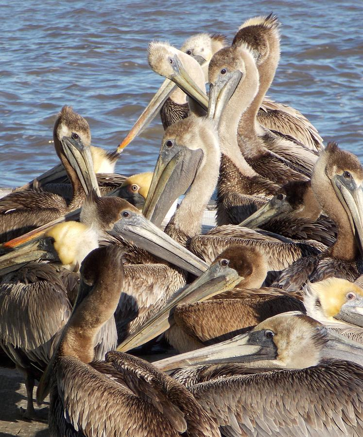 Pelicans Photograph - Birds Of A Feather by John Glass