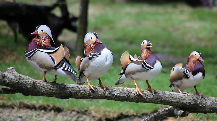 Mandarin Duck Photograph - Birds Of A Feather by Marty Fancy