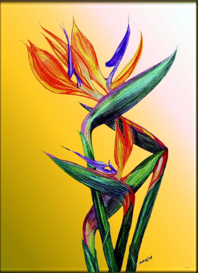 It is an image of Influential Bird Of Paradise Drawing