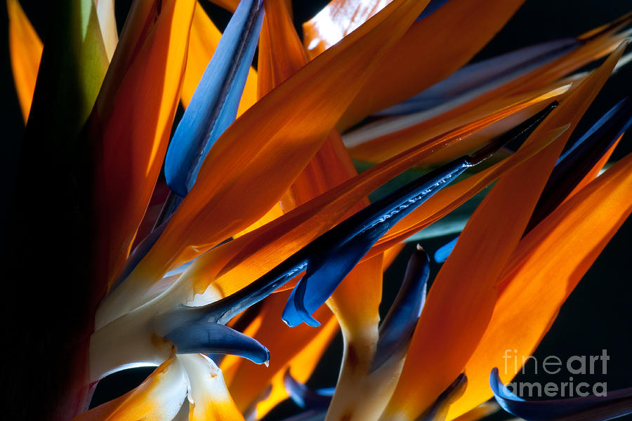 Birds Of Paradise Photograph by Todd Edson