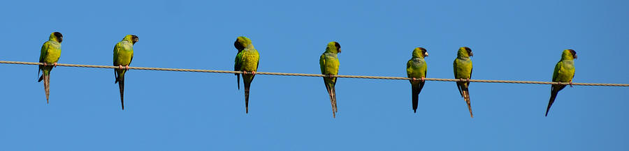 Parakeet Photograph - Birds On A Wire by Julie Cameron