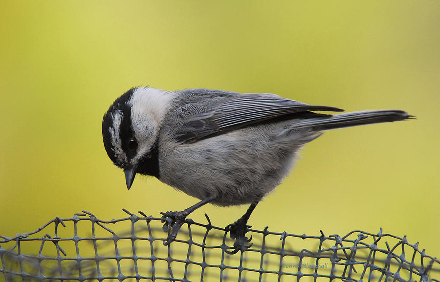 Bird Photograph - Birdseed Bandit by Donna Blackhall
