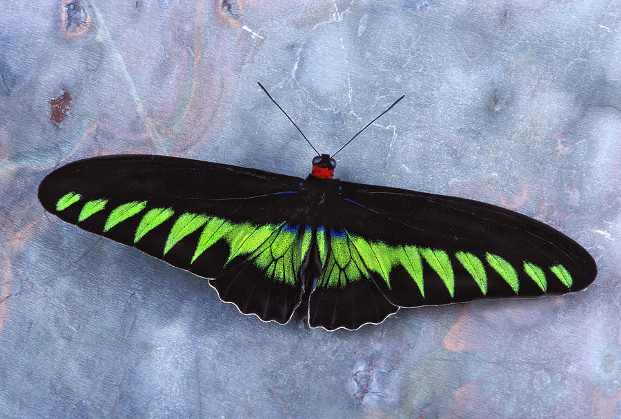 Bug Photograph - Birdwing Butterfly Trogonoptera  by Robert Jensen