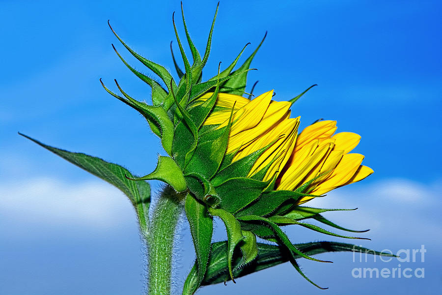 Sunflower Photograph - Birth Of A Sunflower By Kaye Menner by Kaye Menner