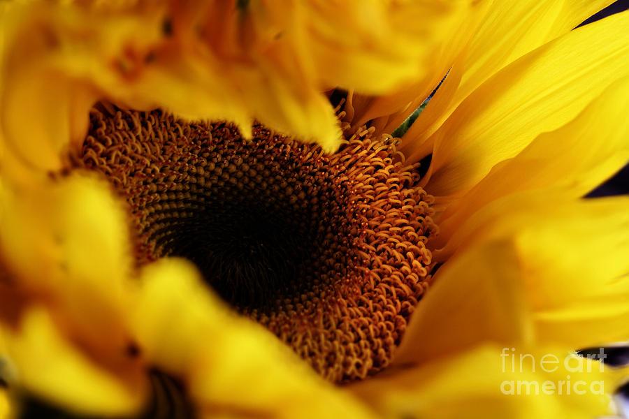 Sunflower Photograph - Birth Of A Sunflower by Stephanie Frey
