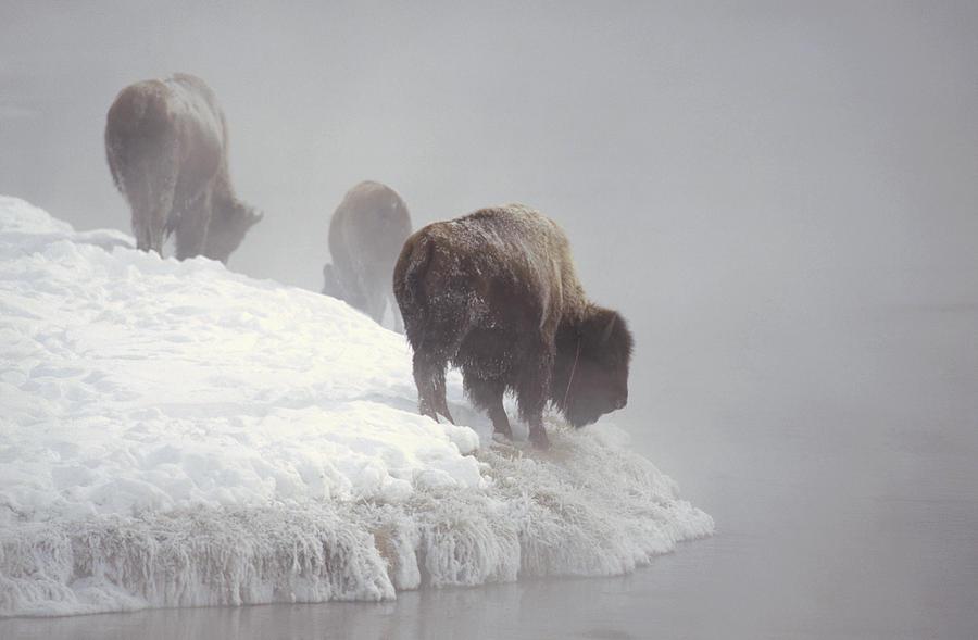 Bison Along Snowy Riverbank Yellowstone Photograph by Konrad Wothe