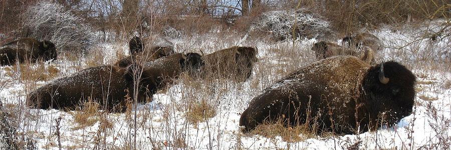 Bison At Rest by David Dunham