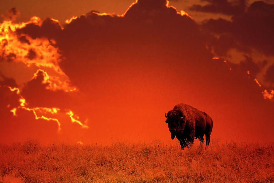 Bison At Sunset Photograph by Mark Newman