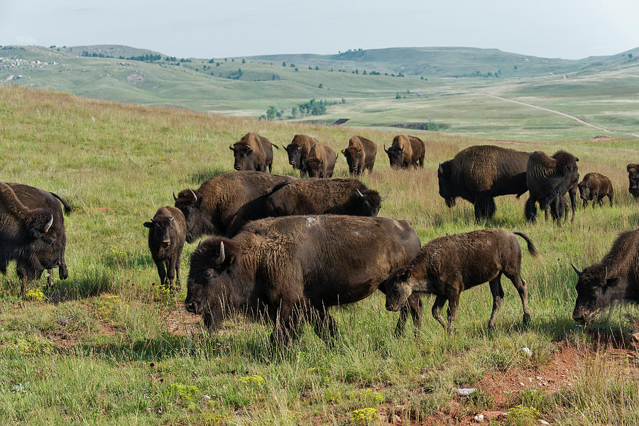 Bison Buffalo In Wind Cave National Park Photograph by Mark Newman