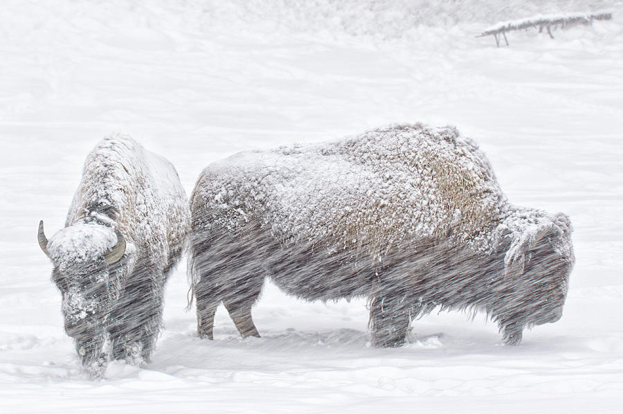 Bison In Winter Snow Photograph by Kencanning