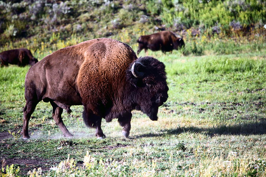 Bison Photograph - Bison In Yellowstone by Sophie Vigneault
