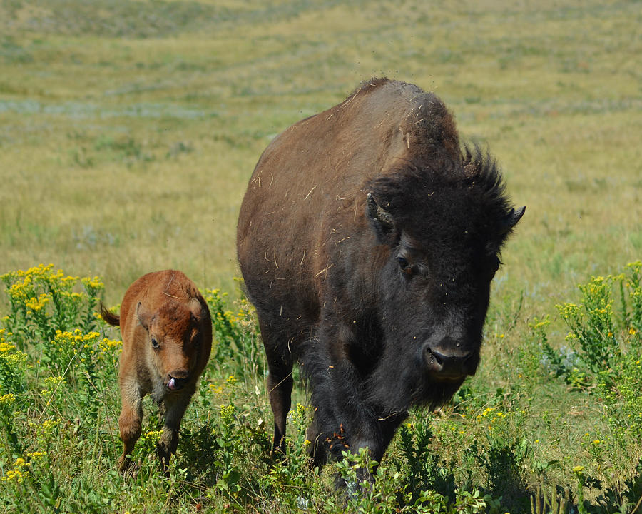Dakota Photograph - Bison Mother And Calf by Dakota Light Photography By Dakota