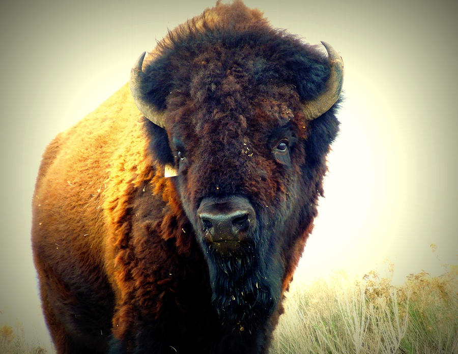 Buffalo Photograph - Bison On Antelope Island by Heidi Manly