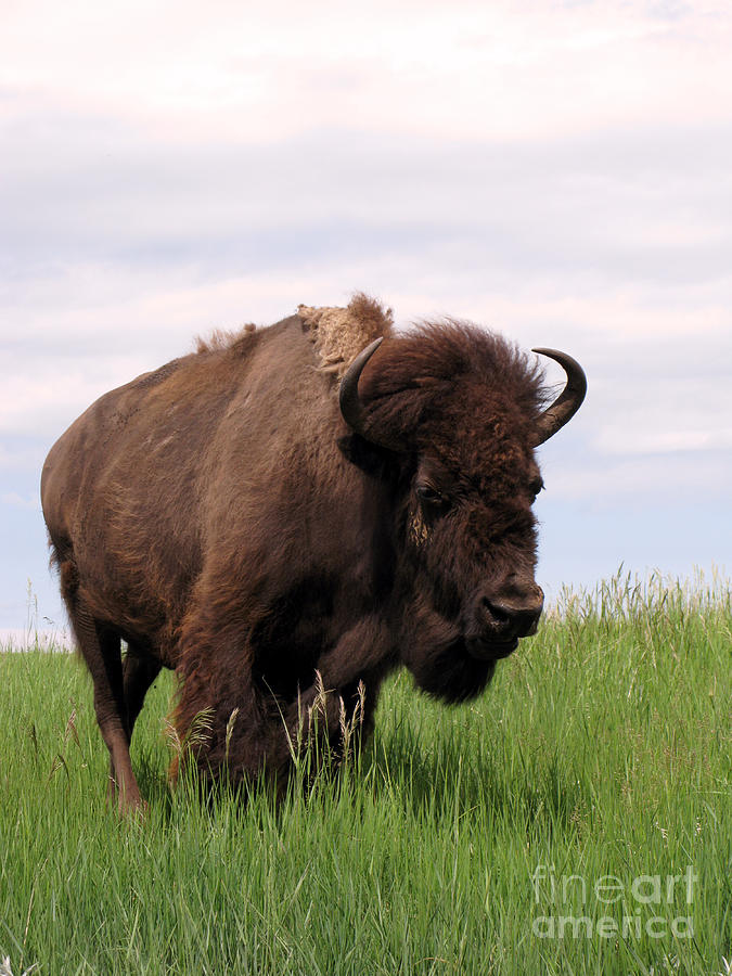 Antique Photograph - Bison On The Prairie by Olivier Le Queinec