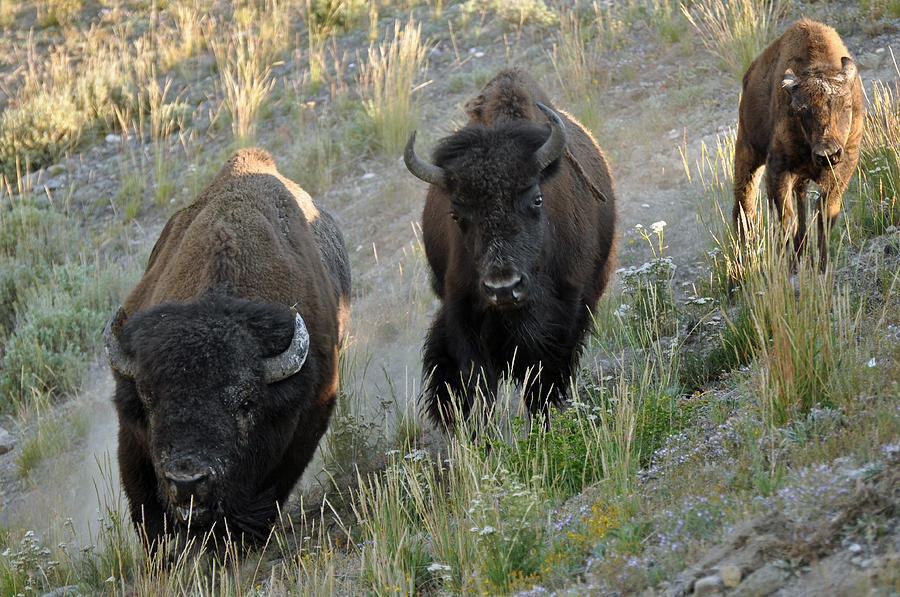 Yellowstone Photograph - Bison On The Run by Bruce Gourley