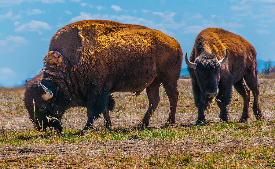 Bison Photograph - Bison Pair_1 by Tom Potter