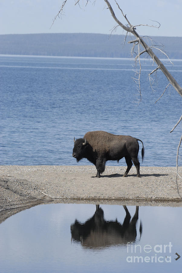 Nature Photograph - Bison Reflecting by Bob Dowling