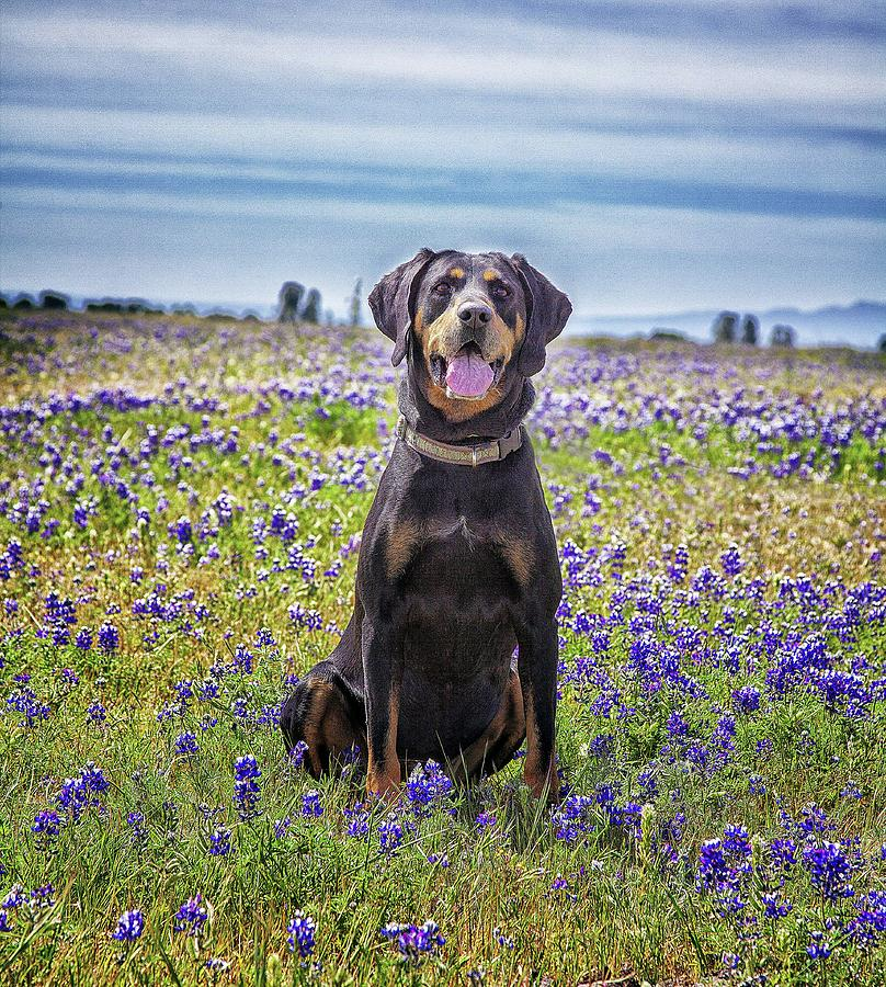 Black And Tan Coonhound In Field Of Photograph by Sunmallia Photography