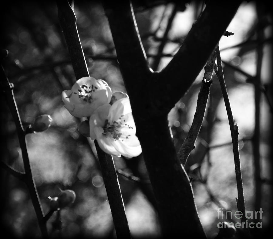 This Is The Beginning Of My 2015 Photo Shoots.  I Took This Picture At The Athens Botanical Gardens. I Was Using A D7100 Camera With A 18/55 Mm  Lens. With Spring Just Beginning There Were Not A Lot Of Flowers In Bloom Photograph - Black And White Appleblossom by Eva Thomas