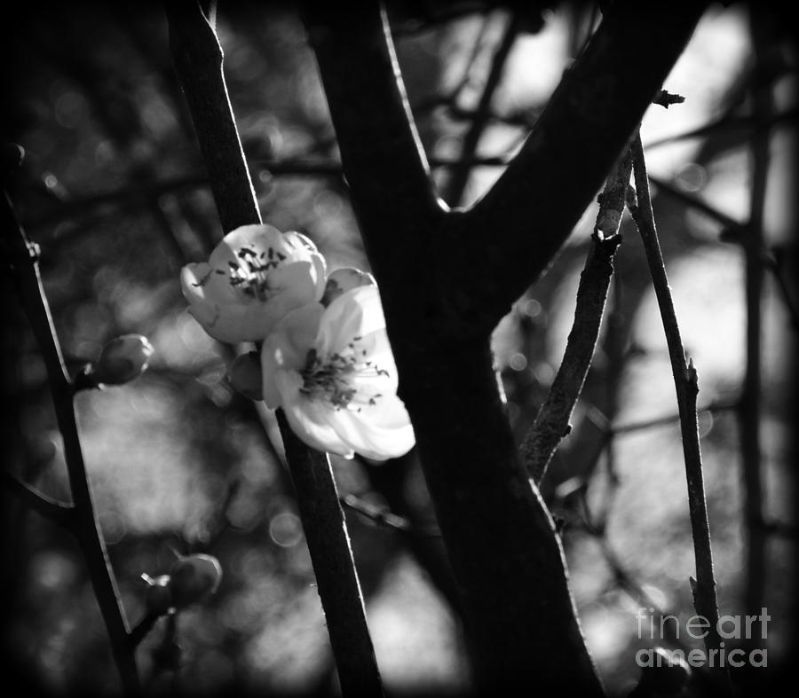 Black And White Appleblossom Photograph by Eva Thomas
