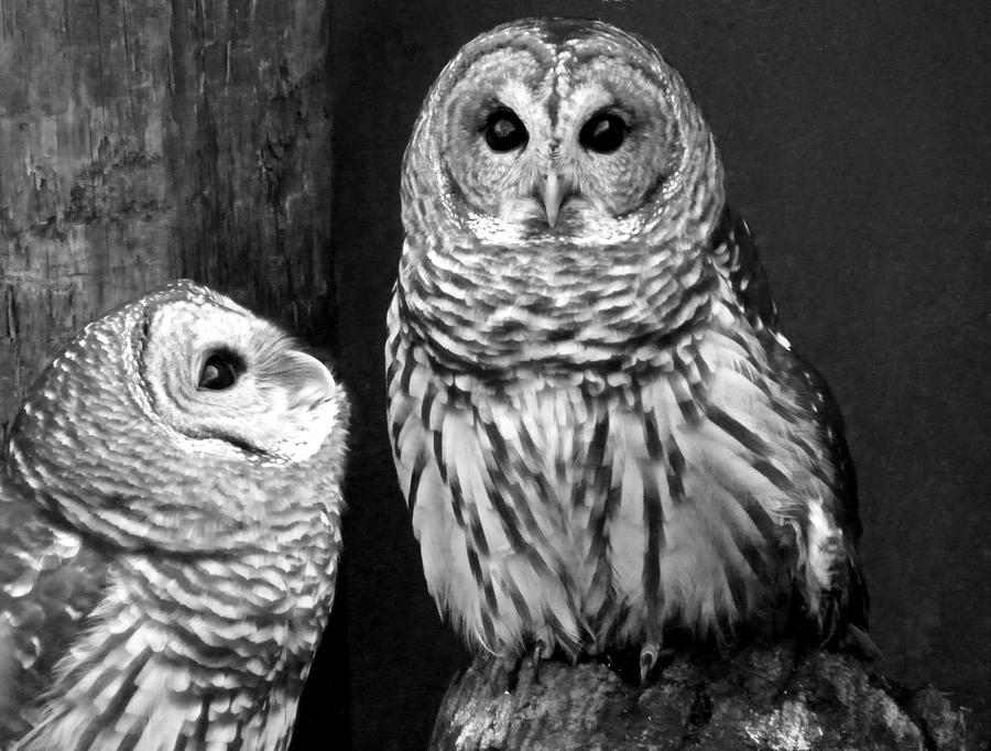 Nature photograph black and white barred owls by judy wanamaker