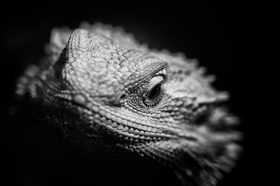 Black And White Bearded Dragon Portrait Photograph by Wild ...