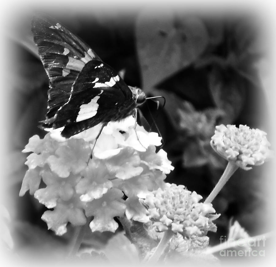 Black And White Photography Photograph - Black And White Butterfly by Eva Thomas