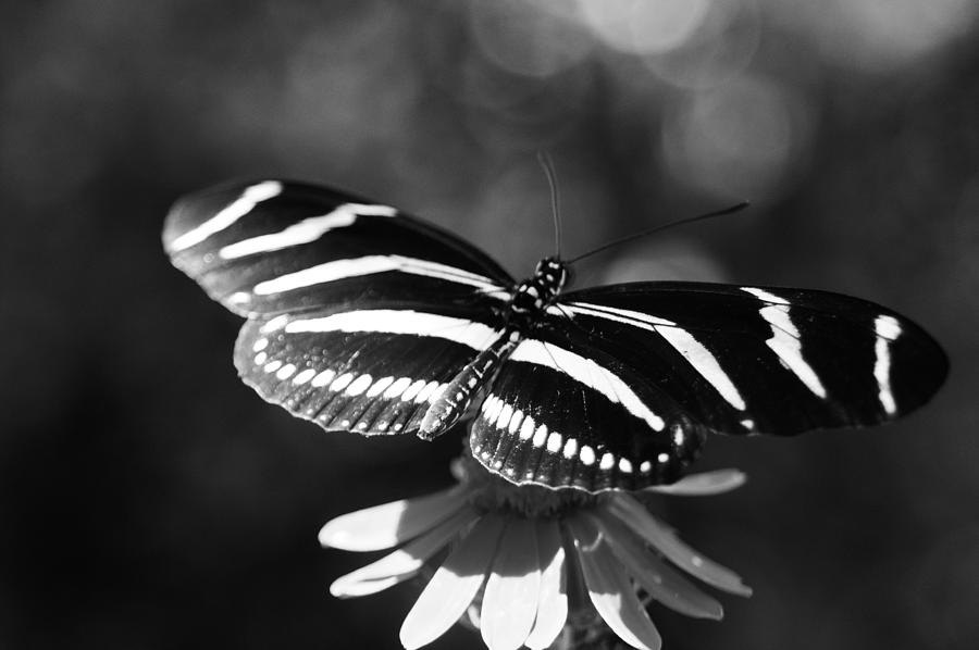 Butterfly Photograph - Black And White Butterfly by Joshua Ward