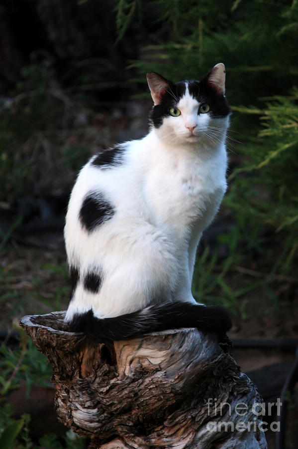 Black And White Cat On Tree Stump Photograph By Carol Groenen