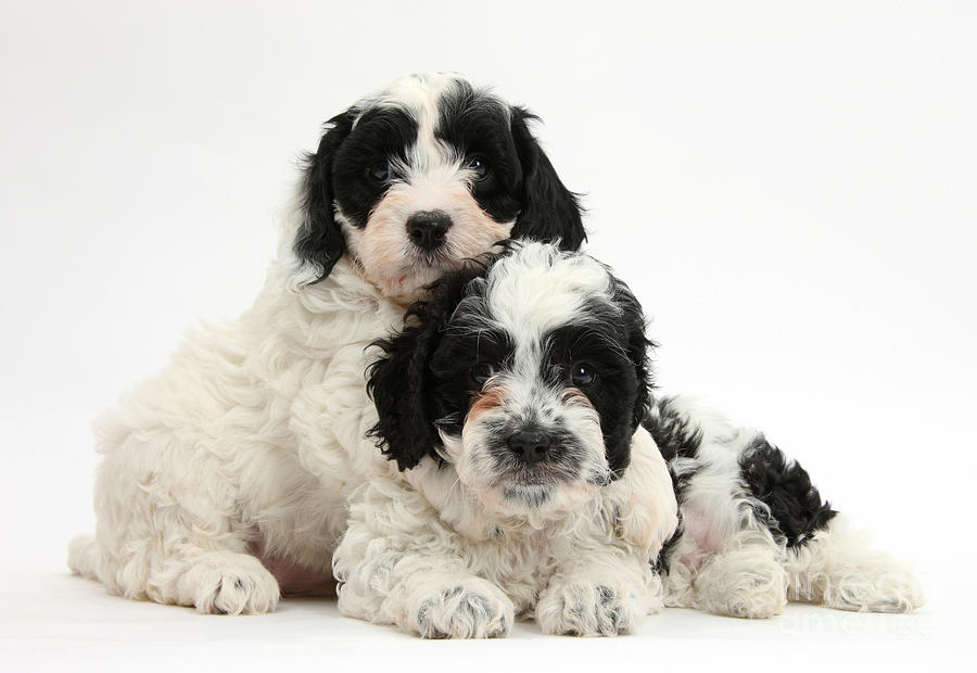 Black And White Cavapoo Puppies Photograph By Mark Taylor