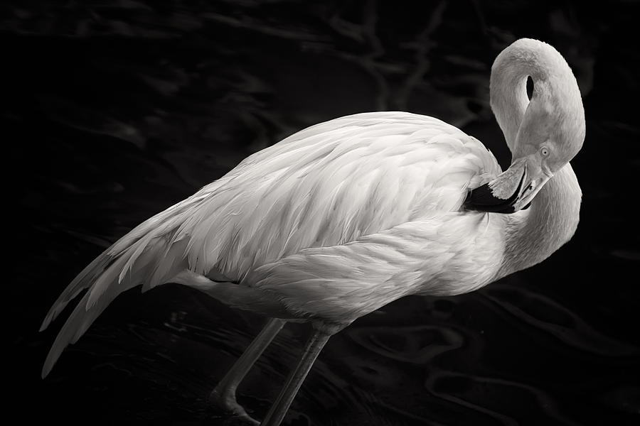Black And White Flamingo Photograph