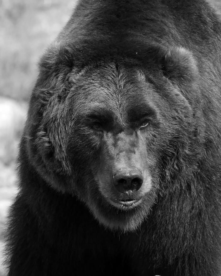 angry bear black and white - photo #48