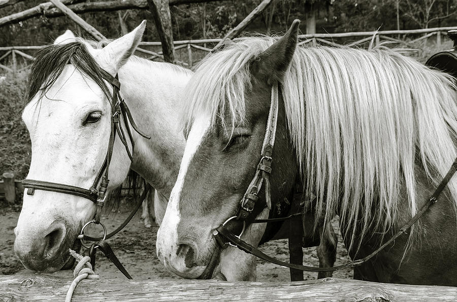Angle Photograph - Black And White Horses. by Slavica Koceva