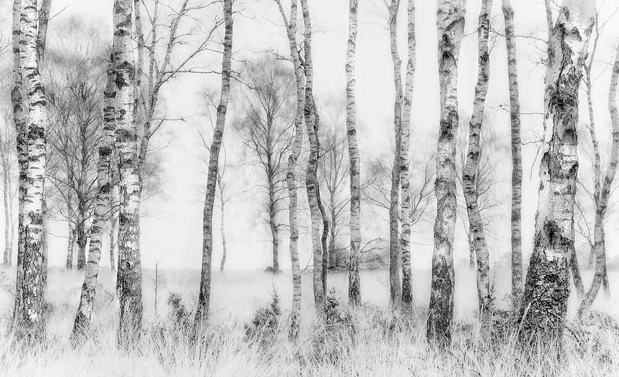 Birch Photograph - Black And White by Nel Talen