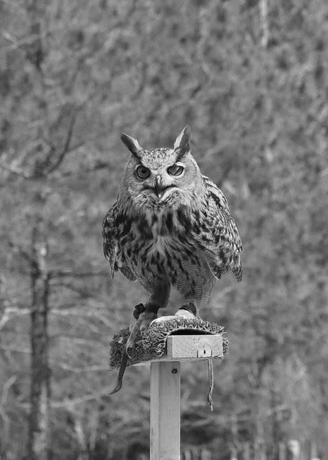 Owl Photograph - Black And White Owl by Cherie Haines