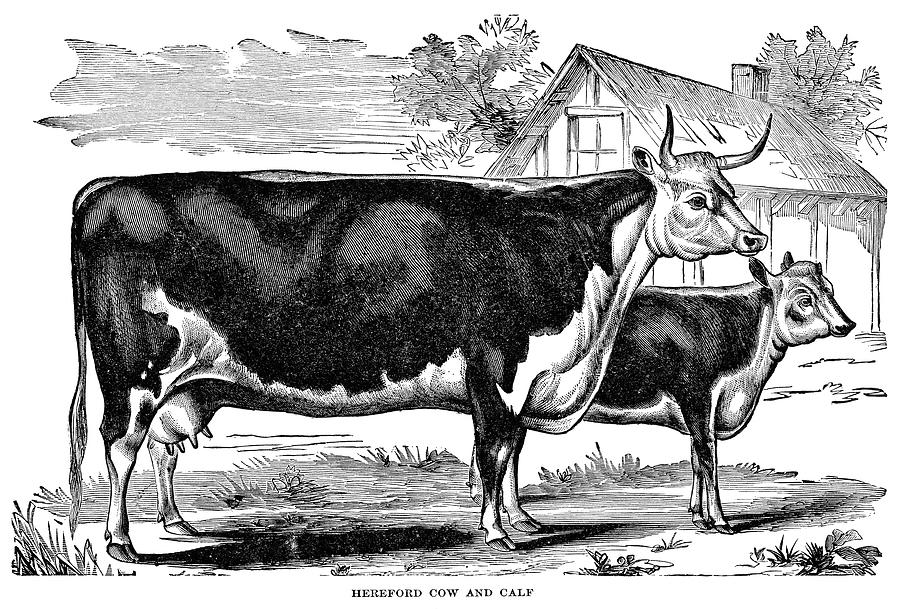 Black And White Pencil Sketch Of Cow