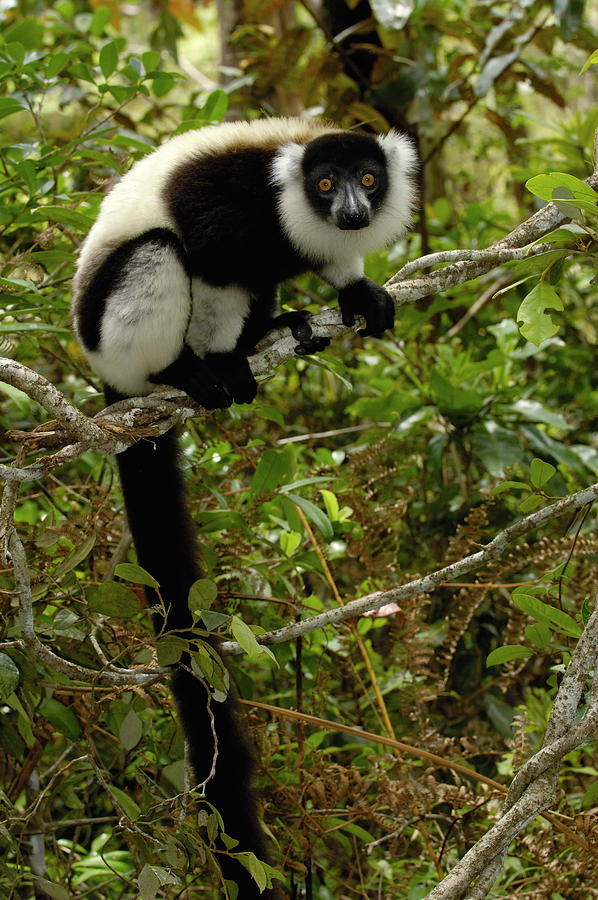 Black And White Ruffed Lemur Photograph by Pete Oxford