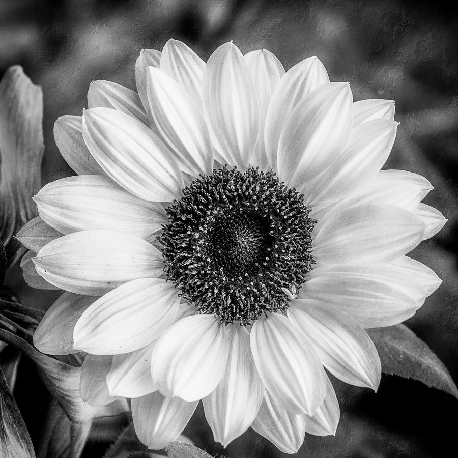 Black And White Sunflower Photograph By Anita Miller