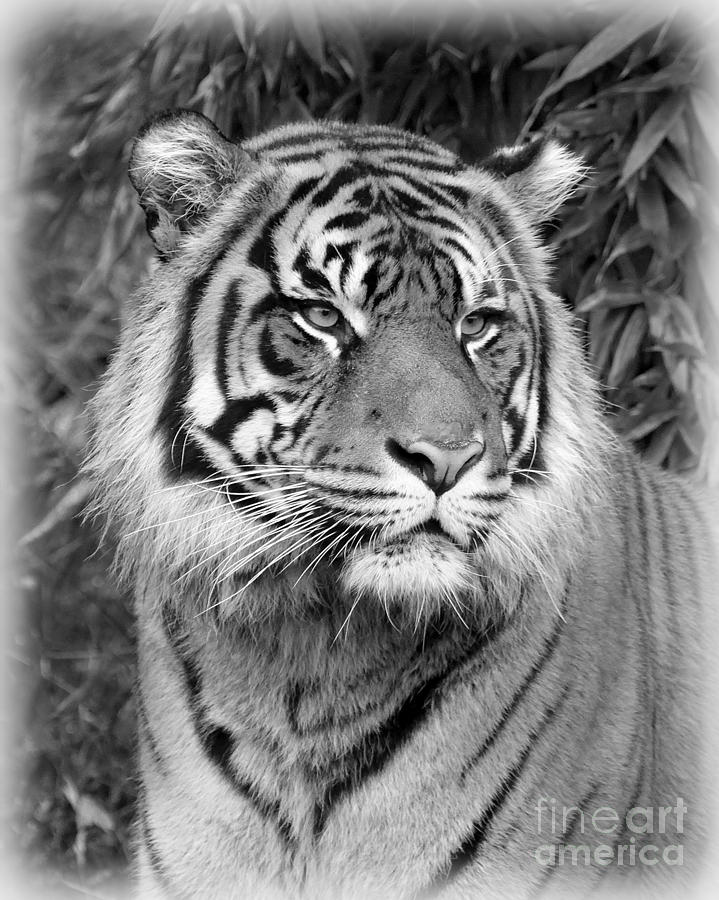 royal bengal tiger hd images