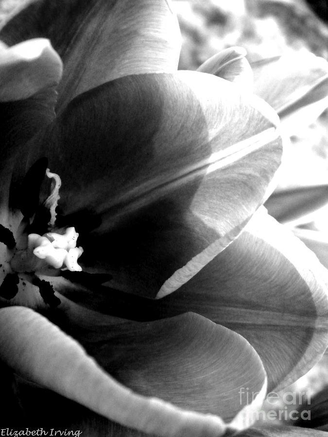 Black Photograph - Black And White Tulip by Elizabeth Fredette