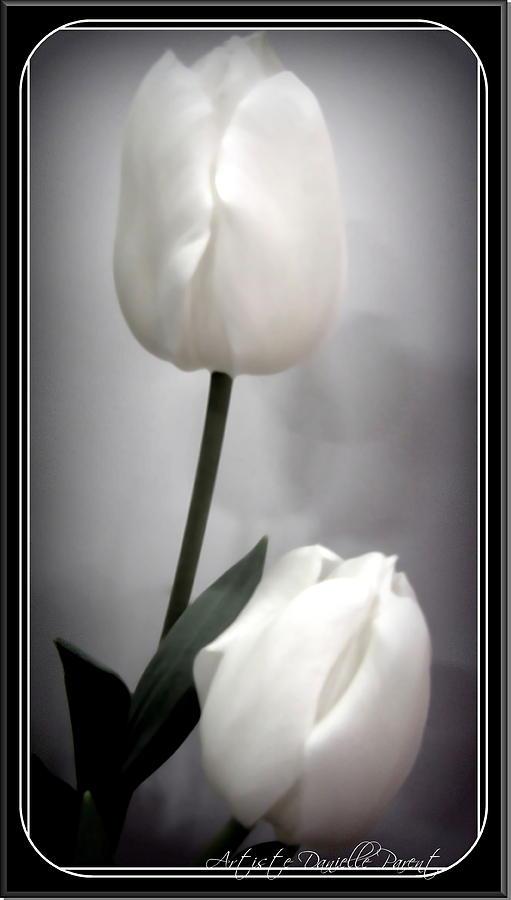 Hamilton Photograph - Black And White Tulips  by Danielle  Parent