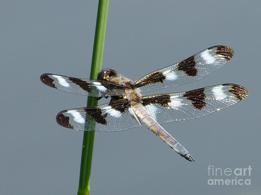 Dragonfly Photograph - Black And White Twelve Spotted Skimmer Dragonfly by Christine Stack