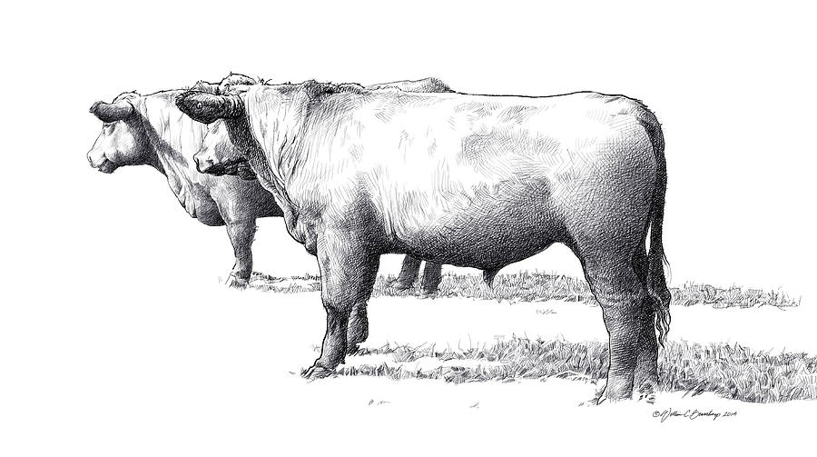 Black Angus Drawing - Black Angus Steers On Almshouse Road by William Beauchamp