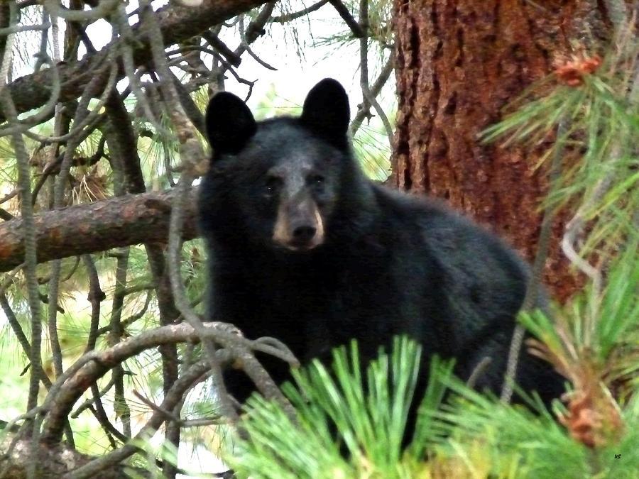Black Bear Photograph - Black Bear 1 by Will Borden