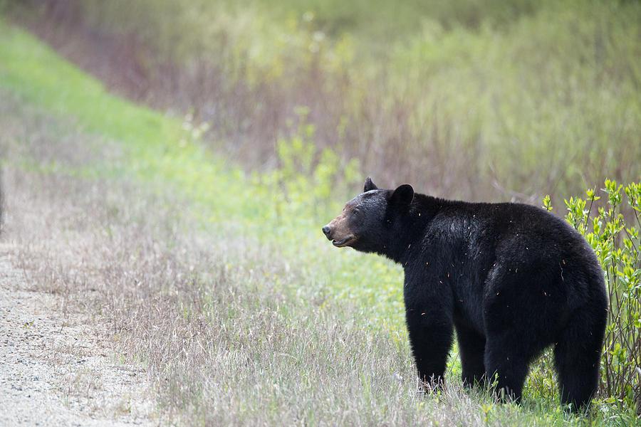 Jasper Photograph - Black Bear 3 by Andy Fung