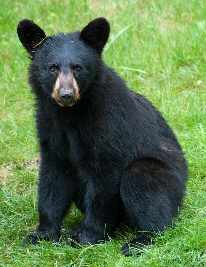 Black Bear Photograph - Black Bear Cub by Brenda Jacobs
