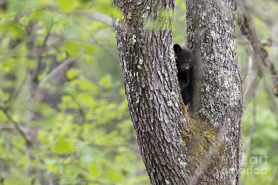 Bear Photograph - Black Bear Cub In Fork Of Tree by Dan Friend