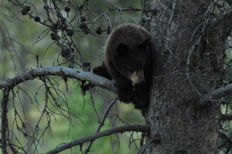 Black Bear Photograph - Black Bear Cub In Tree by Frank Madia