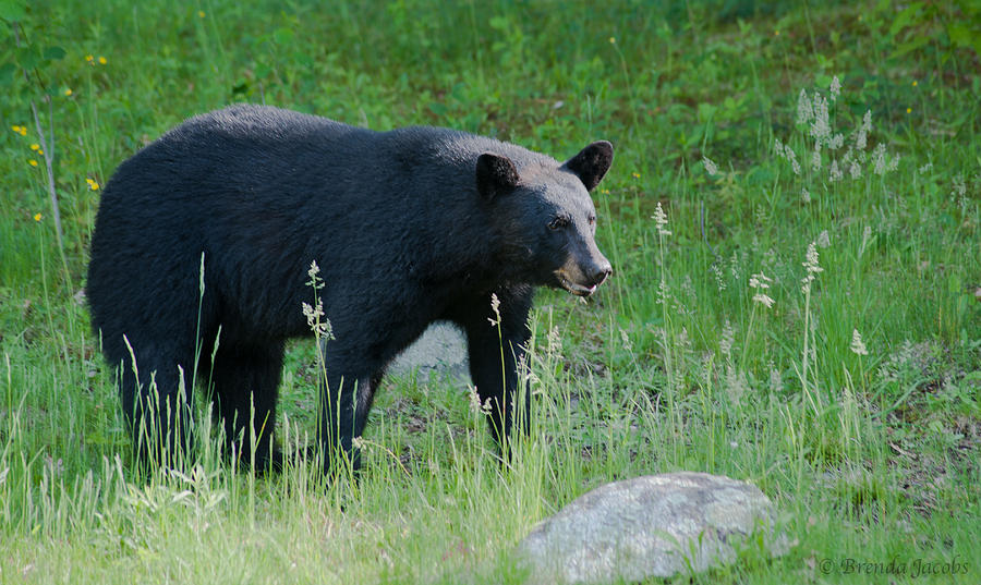 Bear Photograph - Black Bear Female by Brenda Jacobs